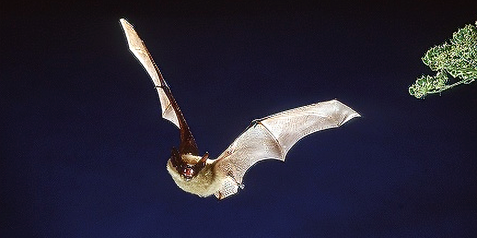 Evening Bat Walk