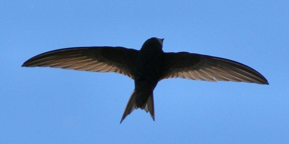 S.O.S - Save our Swifts