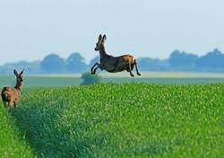Roe deer jumping_F5R0610