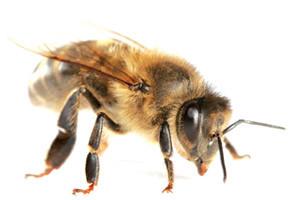 La belle abeille.