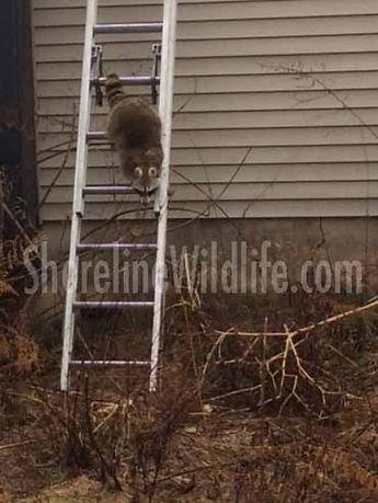 raccoon_2-455x606.jpg