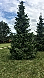 pārdod koku