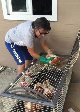 Isabelle lors d'un sauvetage de poules pondeuses