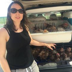 Carolina lors d'un sauvetage de poules