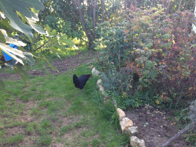 Les copines poulettes