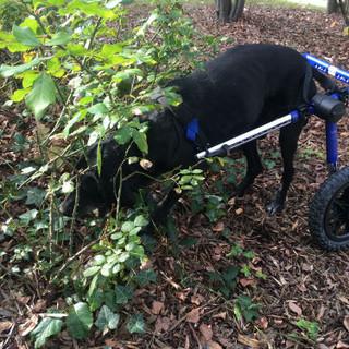 Avec son chariot Fido peut faire ce qui lui plait le plus : renifler tous les recoins de verdure !