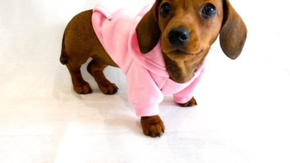 Sausage Dog Box Pink Dachshund Hoodie