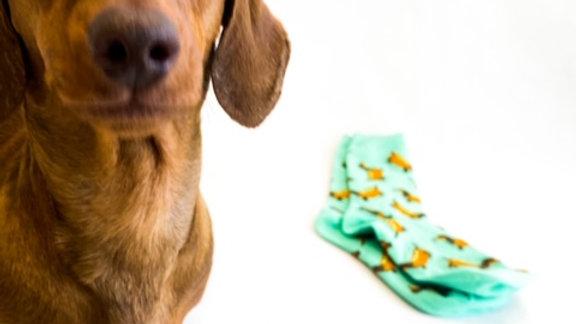Sausage Dog Box, Dachshund Dachshund Socks - Sausage Dog in Bun
