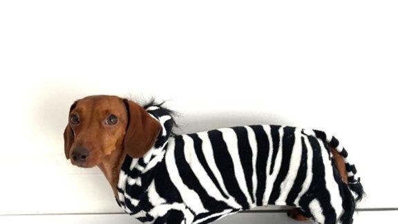 Sausage Dog Box Dachshund Zebra Outfit