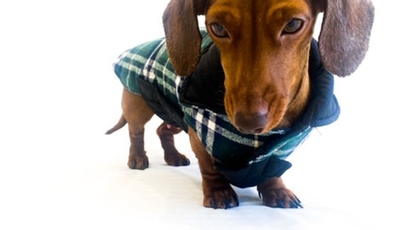 Sausage Dog Box, Dachshund Reversible Plaid Coat Green