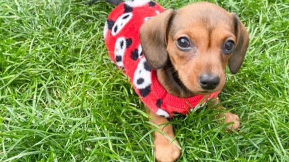 Sausage Dog Box, Dachshund Red Panda Fleece Pyjama, Jumper