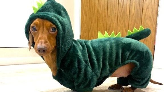 Sausage Dog Box Dachshund Dinosaur Outfit