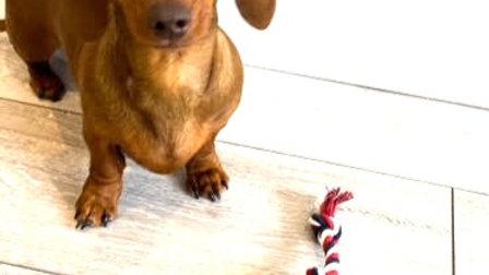 Sausage Dog Box Rope Toy
