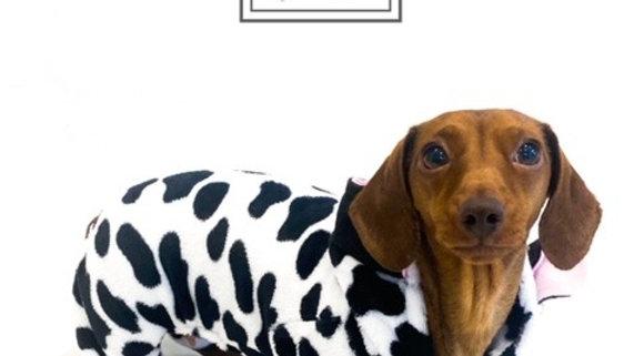 Sausage Dog Box, Dachshund Cute Cow Outfit