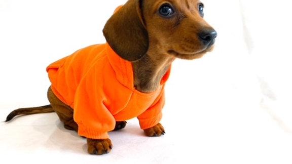Sausage Dog Box Orange Dachshund Hoodie