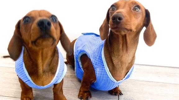 Sausage Dog Box Cooling Vest