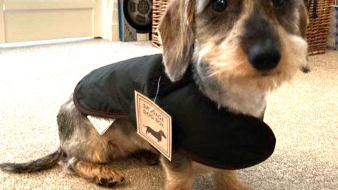 Sausage Dog Box, Dachshund Olive Green Wax Coat