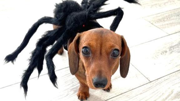 Sausage Dog Box Dachshund Spider Outfit