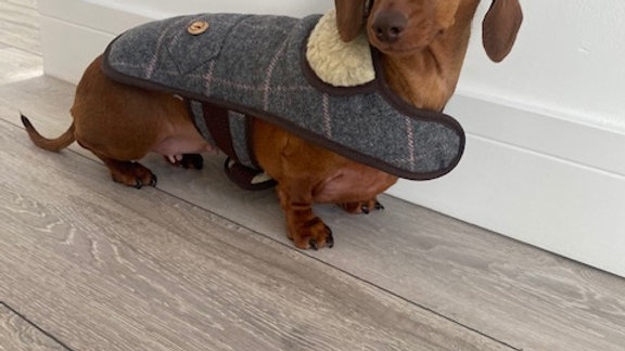 Sausage Dog Box, Dachshund Oscar Tweed Coat
