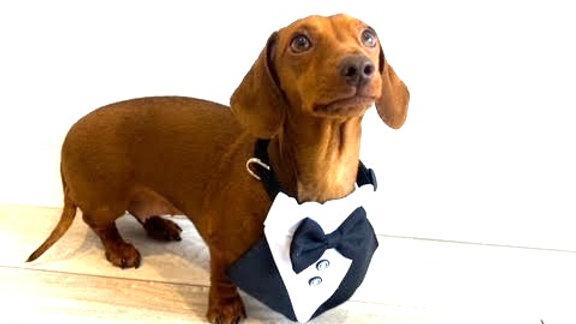 Sausage Dog Box Bowtie Cravat With Clip