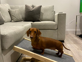 How to reduce the chances of IVDD in Dachshunds