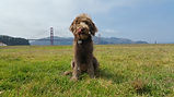 San Francisco dog walking professional dog walkers Marina Cow Hollow Pacific Heights Laurel Heights Russian Hill.