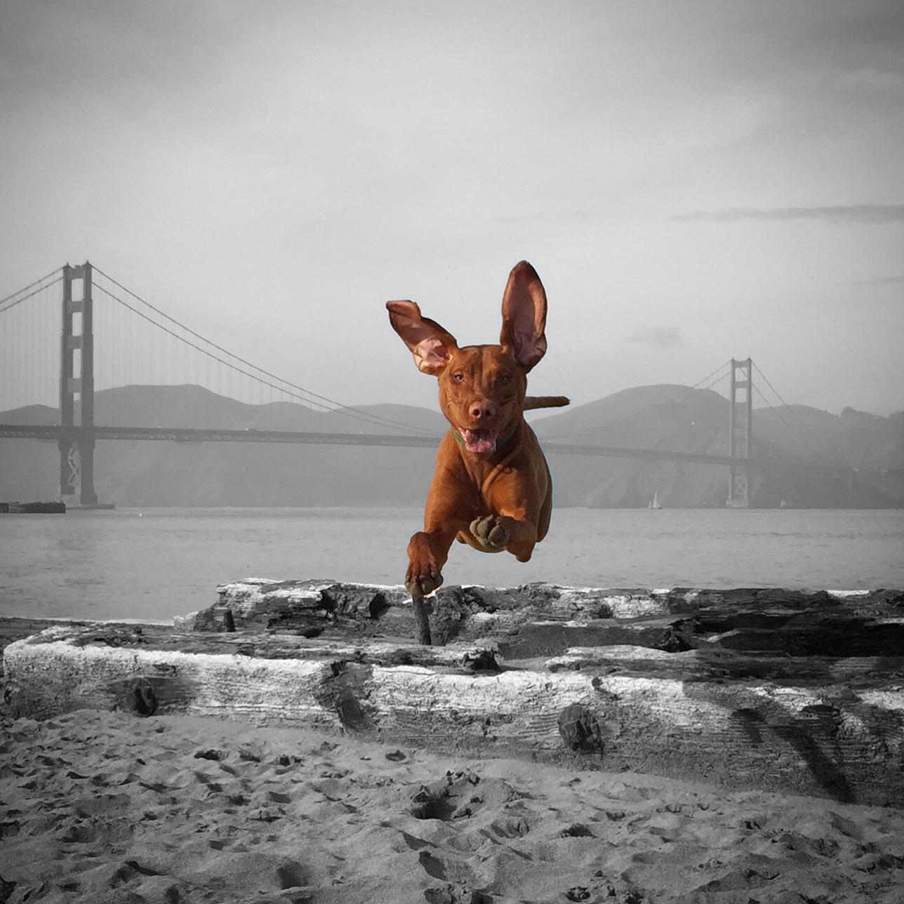 San Francisco dog walking profession