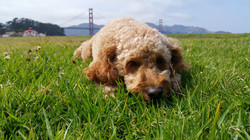 San Francisco dog walking profession