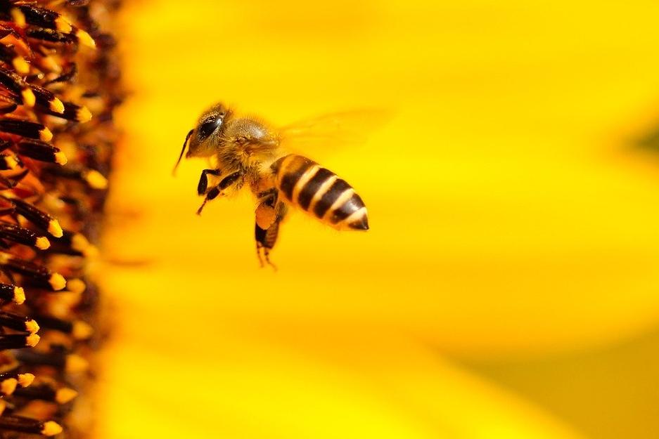 Propolis et abeilles à notre secours