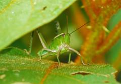 Jimney Cricket