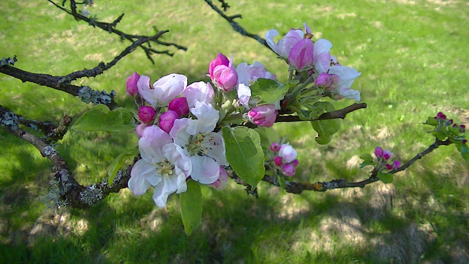 Appelboom Bloesem