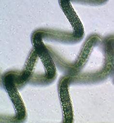 spirulina under a microscope