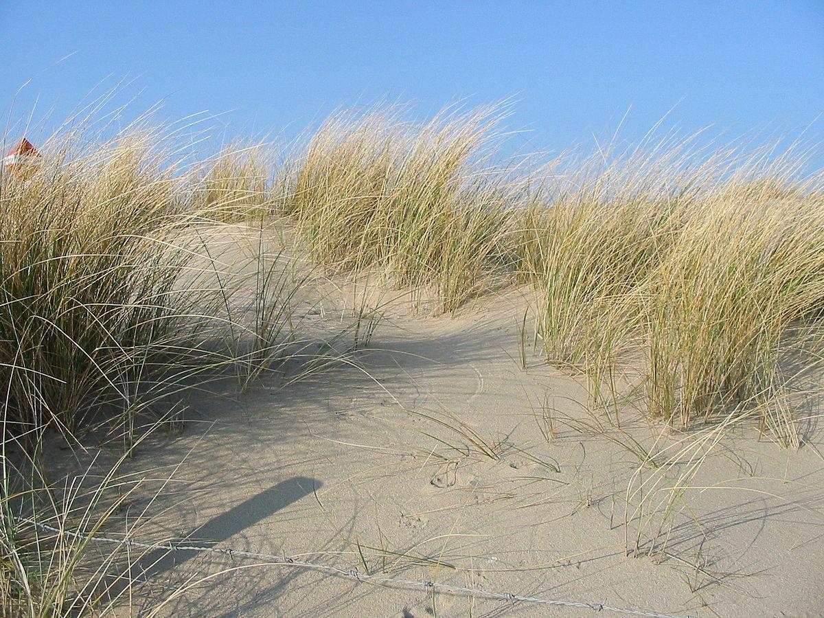 Marram Grass dune