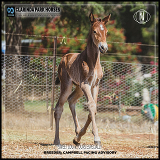 Clarinda Park Horses | Foals 2019 | a colt by SWEET LOU out of OURS ESPECIALLY