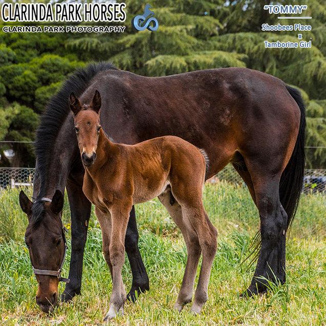Horse Foals Photo 2017 - Shoobees Place x Tamborine Girl
