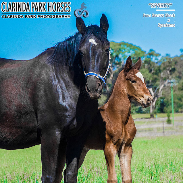 "Horse Foals Photo 2017 - ""SPARKY"" - Four Starzzz Shark x Speriamo"