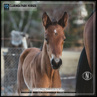 Clarinda Park Horses | Foals 2019 | a colt by FOUR STARZZZ SHARK out of EXOTIC SHEBA
