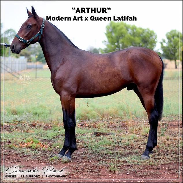 "Private Yearling Sale - ""ARTHUR"" - Modern Art x Queen Latifah"