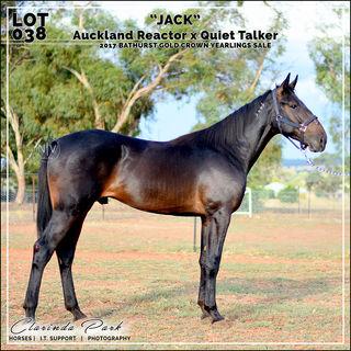 "2017 Bathurst Gold Crown Yearlings Sale - Lot 038 - ""JACK"" - Auckland Reactor x Quiet Talker"