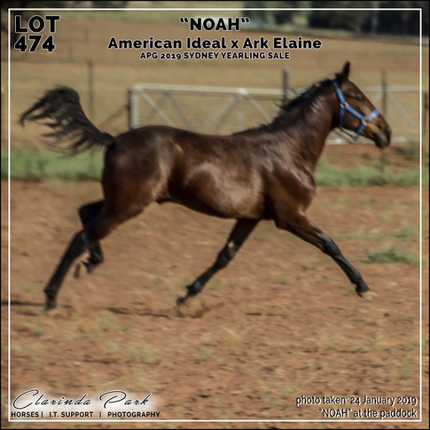 NOAH running at the paddock, before the APG Yearling Sale 2019 Sydney.