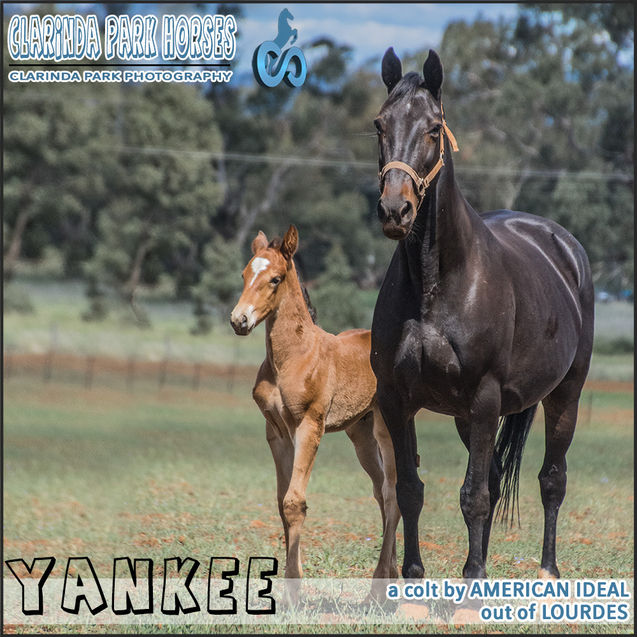 Horse Foals Photo 2018  - YANKEE - an American Ideal colt out of Lourdes