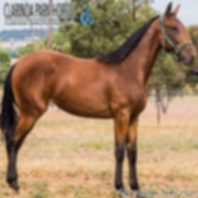 """""""MONA"""" is an Art Major filly out of the mare Dolce Bella. She was presented and solt during the APG Sydney Yearling Sale 2018 at Warwick Farm."""