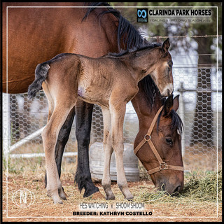 Clarinda Park Horses | Foals 2019 | a colt by HES WATCHING out of SHOOM SHOOM