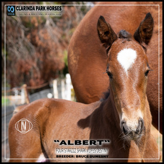 "Clarinda Park Horses | Foals 2019 | ""ALBERT"" a FOUR STARZZZ SHARK colt out of LIFES DESTINY"