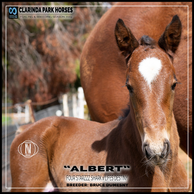 "Clarinda Park Horses | Foals 2019 | ""ALBERT"" a FOUR STARZZZ SHARK colt out of LIFES DESTINY"