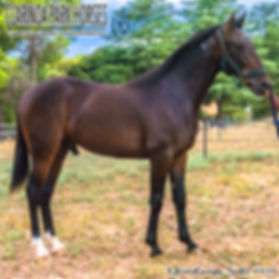 """""""TAYLOR"""" is a Roll With Joe colt out of the mare Tremezzina. He was presented and sold at the APG Sydney Yearlings Sale 2018."""
