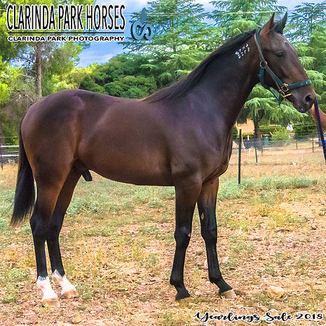 """TAYLOR"" is a Roll With Joe colt out of the mare Tremezzina. He was presented and sold at the APG Sydney Yearlings Sale 2018."