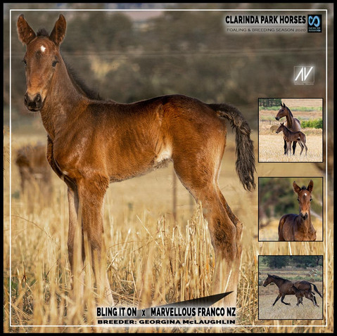 Bling It On filly out of Marvellous Franco NZ
