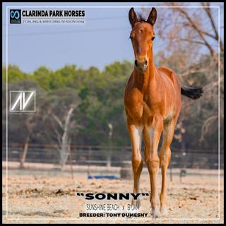 "Clarinda Park Horses | Foals 2019 | ""SONNY"" - Sunshine Beach colt out of Byjam"