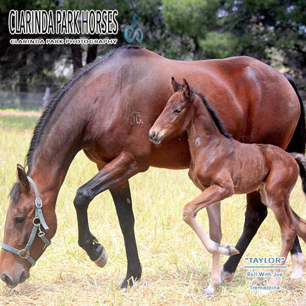 """Horse Foals Photo 2016 - """"TAYLOR"""" - Roll With Joe x Tremezzina"""